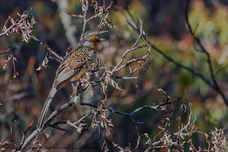 birding in China, Summer Wong Bird Tours, China bird tours